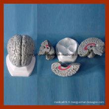 Anatomie humaine Modèle de cerveau gris (3 PCS) Produits médicaux
