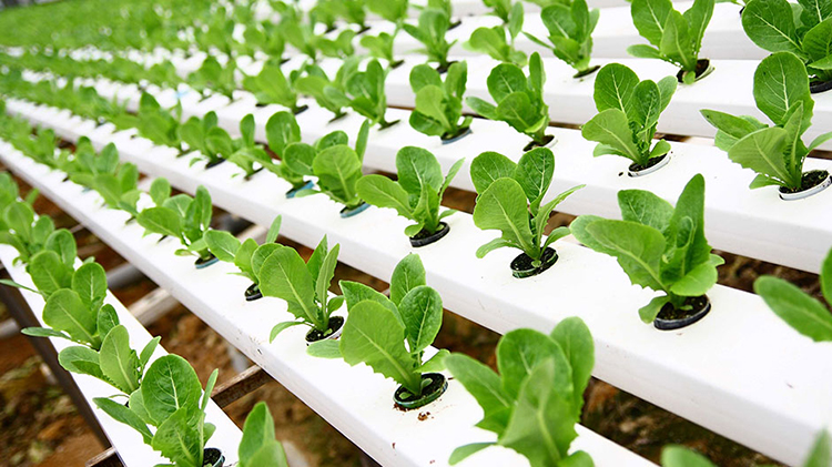 hydroponic Soilless Culture