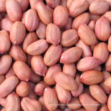 Kernals de amendoim de forma longa com pele vermelha