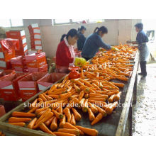 hot sell baby Fresh carrot high quality low price