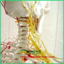 SKELETON02 (12362) медицинские науки полный размер человека 170/180см Сосудисто-нервного скелет анатомические модели