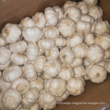 fresh garlic shandong garlic price China garlic