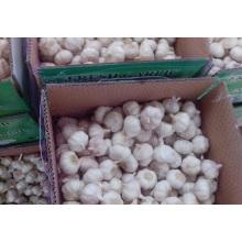 Case Fresh Purple Garlic