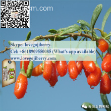 Vendita calda GOJI wolfberry SUPPLY Qualità Premium