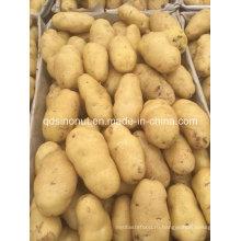Новый картофель Шаньдун