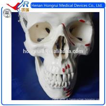 Modelo de crânio médico ISO com Colores que indica músculos