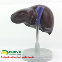 VISCERA08(12545) анатомии человека жизни Размер печени человека модель