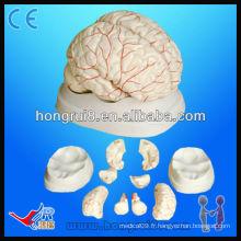 Modèle anatomique médical de haute qualité du cerveau humain et de l'artère du cerveau Modèle de cerveau humain