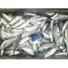 Frozen scad horse mackerel fish pacific