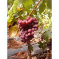 China xinjiang grape sugar grape long shape red grape