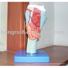 Modelo anatômico laríngeo, modelo de laringe, modelo de garganta