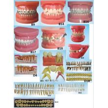 Instrumento de educação de ciência oral Modelo odontológico modelo ortodôntico
