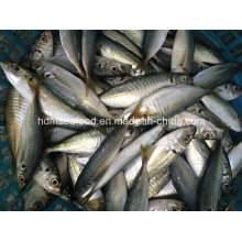 New Catching Round Sacd Fish