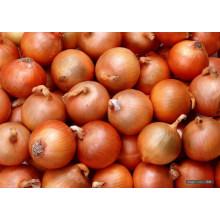 Professional cebola amarela fresca para exportação / SGS