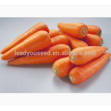 CA02 Hongfushi five inch new kuroda carrot seeds for growing