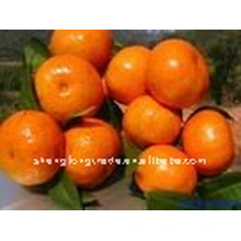 China (NEU) frische Orange NIEDRIGER PREIS