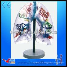 ISO Modèles de segments de poumons anatomoïdes anatomiques transparents