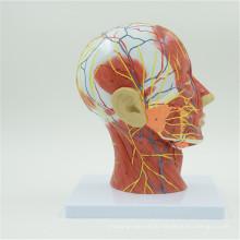 Supply high quality brain model cerebrum model
