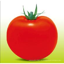 HT22 Tong semillas de tomate híbrido de crecimiento determinado f1 de gran tamaño con alto rendimiento