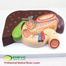 VISCERA02 (12539) Foie grandeur nature avec modèle anatomique de la vésicule biliaire, du pancréas et du duodénum