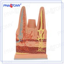 PNT-0476 usine directe Villages intestinaux organisent modèle pour les étudiants et les médecins