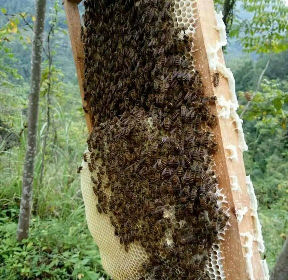 rape honey bees (2)