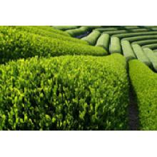 Antioxidants Tea Polyphenols Green Tea Extract