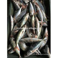 Vermelho cauda scad peixe / redonda scad peixe
