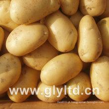 Qualidade exportada de batata fresca holandesa