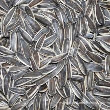 Nova safra 2016 sementes de girassol tipo longo sementes