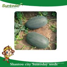 Suntoday boîte à glaces Asiatique légume hybride F1 agriculture pastèque noir vegitable d'exportation importation heirloom graines société (11015)