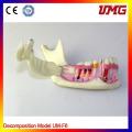 Dental Supplies Organization Od Mandible Model