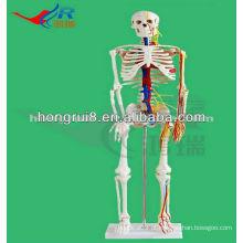 Mini tamanho Esqueleto móvel humano modelo com nervos e vasos sanguíneos (85 cm de altura) Modelo mini esqueleto médico