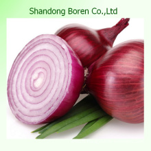 Good Quality Fresh Onion in Chinese