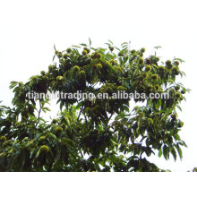 Chinese chestnut exporter Taian