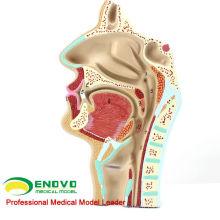 THROAT05 (12511) Physiologie ORL de l'homme Modèle d'anatomie de la coupe transversale nasale de la gorge du nez