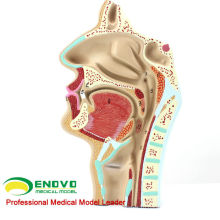 THROAT05(12511) человека Физиология ЛОР назальный сечения Анатомия модель носа в горло