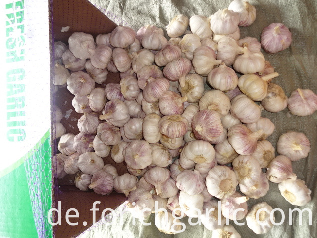 Regular Garlic 5 0cm