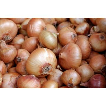 TOP QUALITY YELLOW ONION CROP 2020