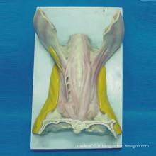 Modèle d'anatomie musculaire de la langue pour l'enseignement médical (R040110)
