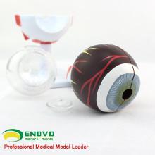 EYE02(12526) Medical Anatomy Model 6-parts Eyes Model