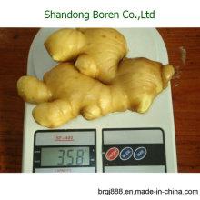 2015 Jengibre fresco de la venta caliente del jengibre nuevo Natrual Ginger