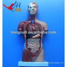 Modèle de torse médical avancé ISO, modèle de torse anatomique humain de 26 cm