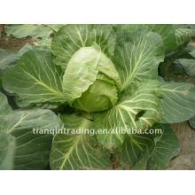 chinese round cabbage