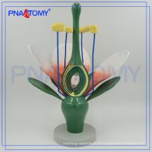 PNT-0836-1 ampliado modelo de flor Dicot biológica