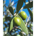 Olive Leaf Extract Is Used for The Treatment of Malaria