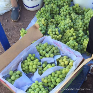 China fresh red grape fruit green grape price