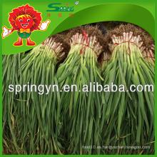 Proveedor chino de puerros de ajo largo