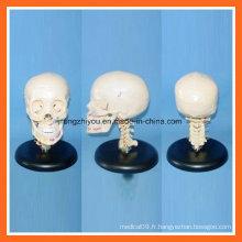 Modèle de crâne humain en plastique avec colonne vertébrale cervicale pour l'éducation