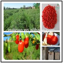 2016 chinese dried medlar/dried goji berry/dried chinese wolfberry